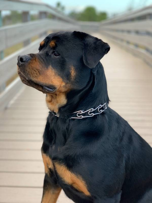 An incredibly handsome Rottweiler sits on a boardwalk with a serious face.