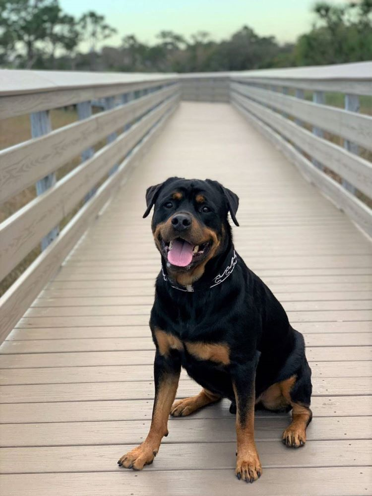 An incredibly handsome Rottweiler sits on a boardwalk.